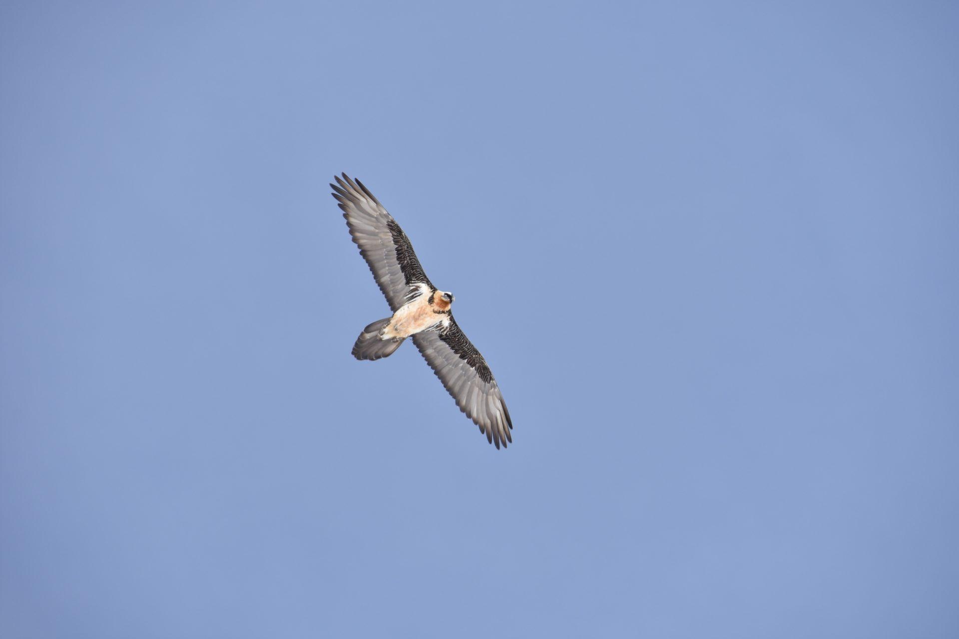Fliegender Bartgeier-Altvogel I(c)Klaus Bliem